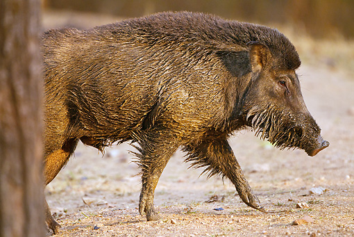 WLD 31 MC0004 01 © Kimball Stock Indian Wild Boar Walking Through Kanha National Park, Madhya Pradesh, India