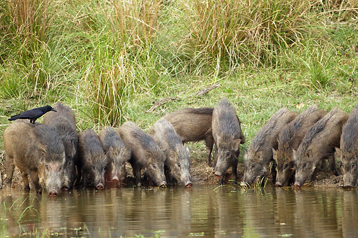 WLD 31 MC0005 01 © Kimball Stock Indian Wild Boar Drinking From Watering Hole In Kanha National Park, Madhya Pradesh, India