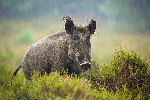WLD 31 WF0001 01 © Kimball Stock Young Wild Boar Female Standing In Rain