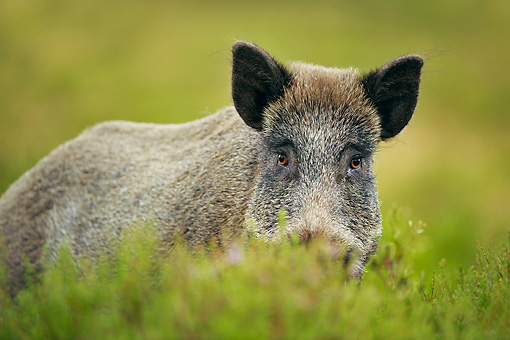 WLD 31 WF0003 01 © Kimball Stock Wild Boar Male Standing In Heather