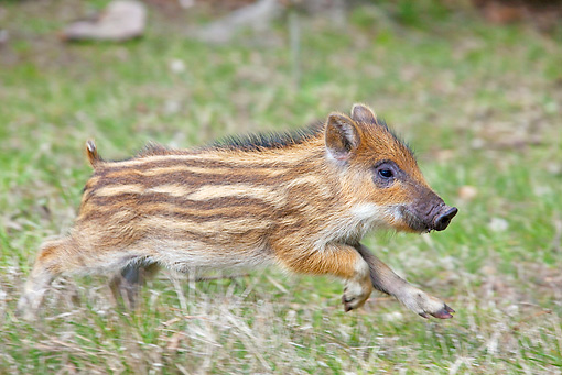 WLD 31 WF0004 01 © Kimball Stock Wild Boar Piglet Running On Grass