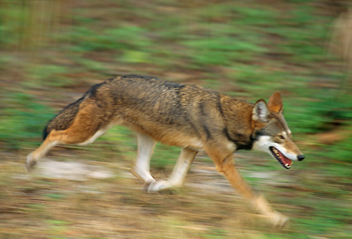 WOV 07 TL0001 01 © Kimball Stock Red Wolf Running
