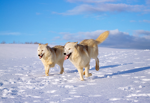 WOV 08 LS0001 01 © Kimball Stock Two Arctic Wolves Running On Snow Blue Sky