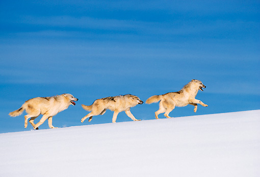 WOV 08 RW0001 01 © Kimball Stock Arctic Gray Wolves Running On Snow