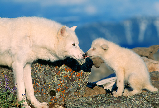 WOV 08 RW0006 01 © Kimball Stock Arctic Adult And Pup Wolves