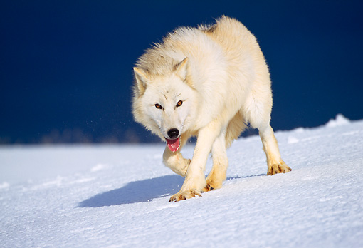 WOV 08 TL0005 01 © Kimball Stock Arctic Wolf Walking On Snow