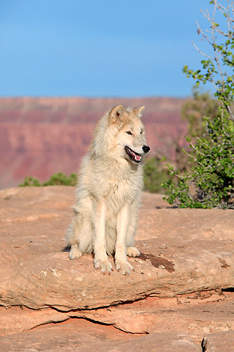 WOV 09 AC0016 01 © Kimball Stock Gray Wolf (Also Called Timber Wolf Or Western Wolf) Standing In Monument Valley, Utah, USA