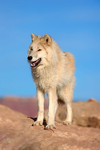WOV 09 AC0017 01 © Kimball Stock Gray Wolf (Also Called Timber Wolf Or Western Wolf) Standing In Monument Valley, Utah, USA