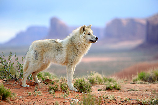 WOV 09 AC0018 01 © Kimball Stock Gray Wolf (Also Called Timber Wolf Or Western Wolf) Standing In Monument Valley, Utah, USA