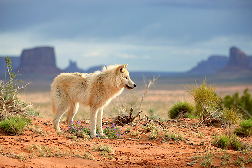 WOV 09 AC0019 01 © Kimball Stock Gray Wolf (Also Called Timber Wolf Or Western Wolf) Standing In Monument Valley, Utah, USA