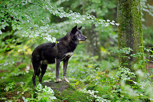 WOV 09 AC0021 01 © Kimball Stock Eastern Timber Wolf (Also Called Great Lakes Wolf, Algonquin Wolf, Or Deer Wolf) Standing In Forest In Germany