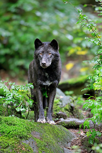 WOV 09 AC0022 01 © Kimball Stock Eastern Timber Wolf (Also Called Great Lakes Wolf, Algonquin Wolf, Or Deer Wolf) Standing In Forest In Germany
