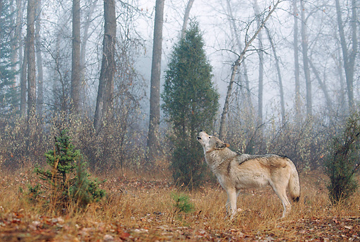 WOV 09 BA0003 01 © Kimball Stock Gray Wolf Howling In Forest Profile