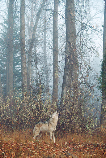WOV 09 BA0004 01 © Kimball Stock Gray Wolf Howling In Forest Profile