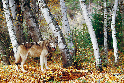 WOV 09 BA0006 01 © Kimball Stock Gray Wolf Standing In Forest By Birch Trees Profile