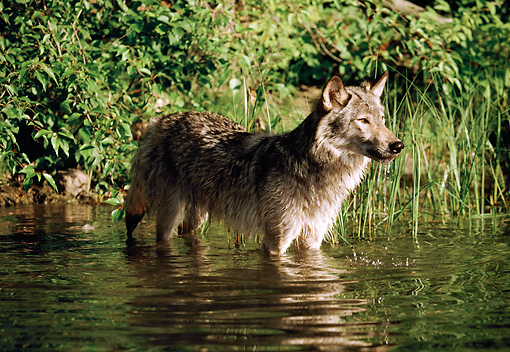 WOV 09 BA0007 01 © Kimball Stock Gray Wolf Standing In Stream Profile