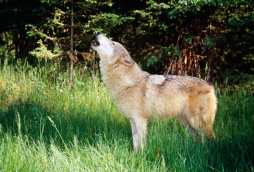 WOV 09 BA0009 01 © Kimball Stock Gray Wolf Standing In Grass Field Howling
