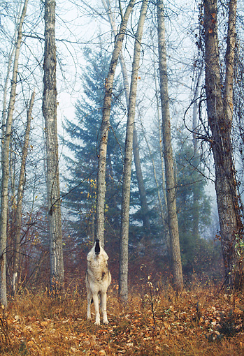 WOV 09 BA0010 01 © Kimball Stock Gray Wolf Standing In Forest Howling