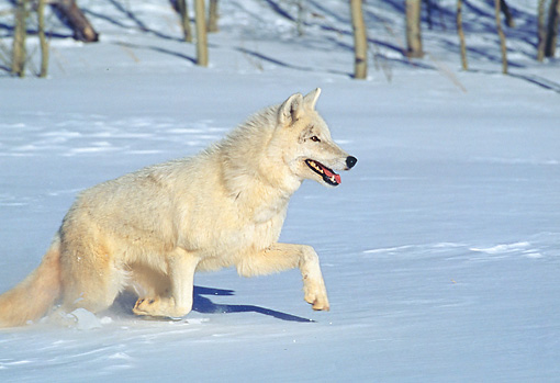 WOV 09 GL0002 01 © Kimball Stock White Gray Wolf Running On Snow In Woods