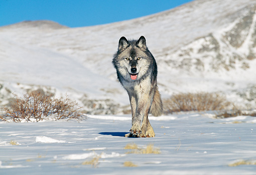 WOV 09 GL0003 01 © Kimball Stock Gray Wolf Walking On Snow Alaska