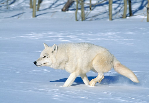 WOV 09 GL0007 01 © Kimball Stock Alaskan Tundra Wolf Running Through Snow