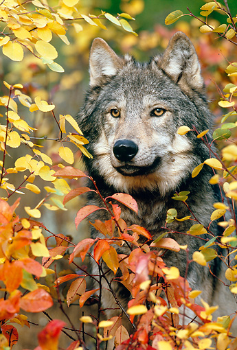WOV 09 KH0054 01 © Kimball Stock Head Shot Of Gray Wolf Looking Through Leaves