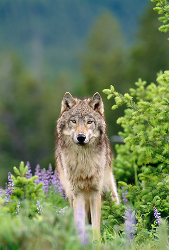 WOV 09 KH0055 01 © Kimball Stock Gray Wolf Standing In Grass And Lavender Flowers