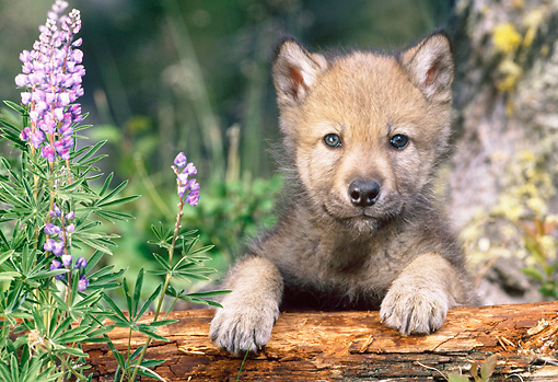 WOV 09 KH0057 01 © Kimball Stock Gray Wolf Pup Leaning On Log By Lavender Flowers