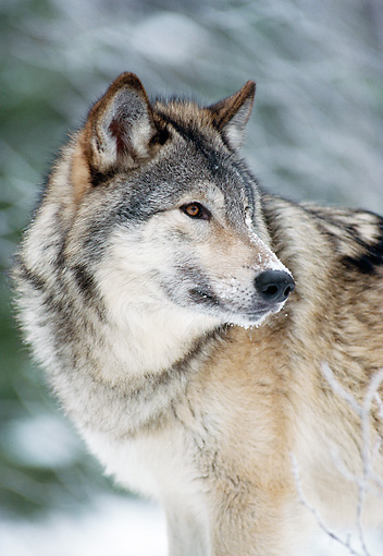 WOV 09 MC0008 01 © Kimball Stock Portrait Of Gray Wolf Standing In Snowy Forest