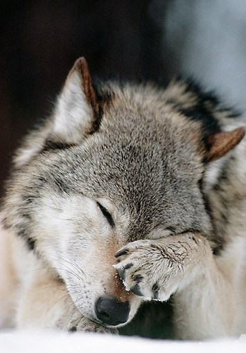 WOV 09 MC0009 01 © Kimball Stock Portrait Of Gray Wolf Rubbing Eyes With Paw In Snowy Forest