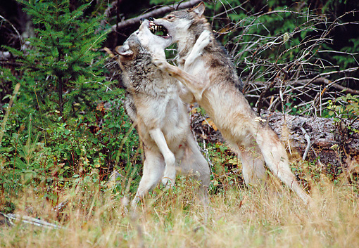 WOV 09 MC0010 01 © Kimball Stock Two Gray Wolves Fighting Rocky Mountains