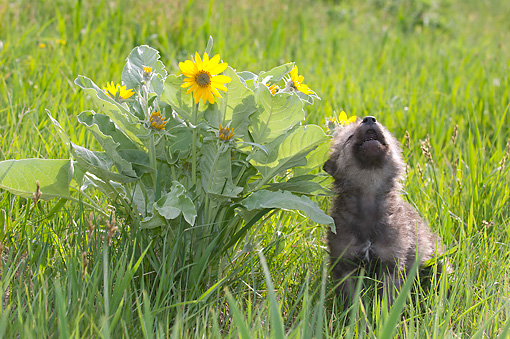 WOV 09 NE0033 01 © Kimball Stock Gray Wolf Pup Howling By Arrowleaf Balsamroot Flowers In Spring Montana