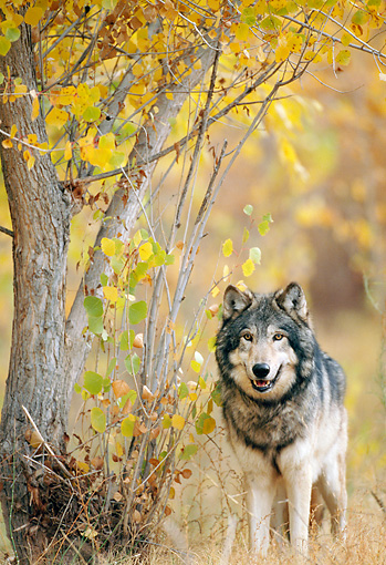 WOV 09 NE0034 01 © Kimball Stock Gray Wolf Standing In Autumn Forest Rocky Mountains