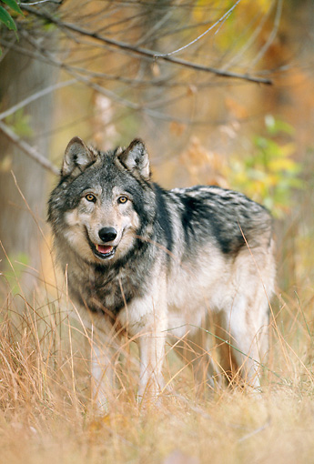 WOV 09 NE0035 01 © Kimball Stock Gray Wolf Standing In Autumn Forest Rocky Mountains