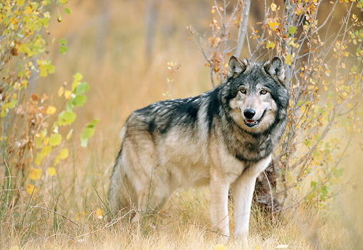 WOV 09 NE0036 01 © Kimball Stock Gray Wolf Standing In Autumn Forest Rocky Mountains