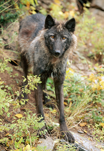 WOV 09 NE0040 01 © Kimball Stock Gray Wolf Standing In Forest Western Rocky Mountains