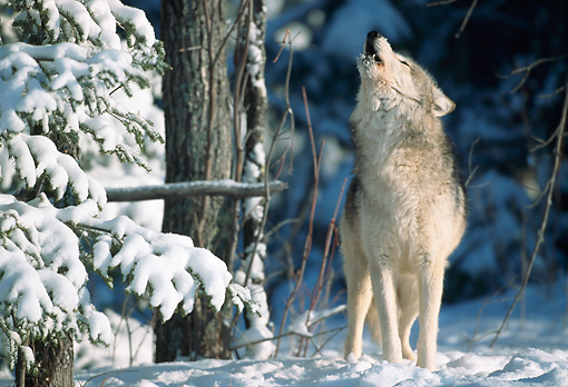 WOV 09 NE0041 01 © Kimball Stock Gray Wolf Howling In Snow