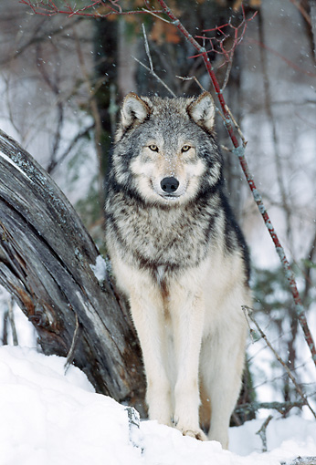 WOV 09 NE0043 01 © Kimball Stock Gray Wolf Standing In Snowy Forest