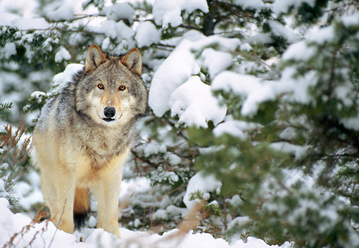 WOV 09 NE0044 01 © Kimball Stock Gray Wolf Standing In Snow Rocky Mountains