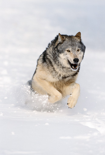 WOV 09 NE0048 01 © Kimball Stock Gray Wolf Running Through Snow Montana
