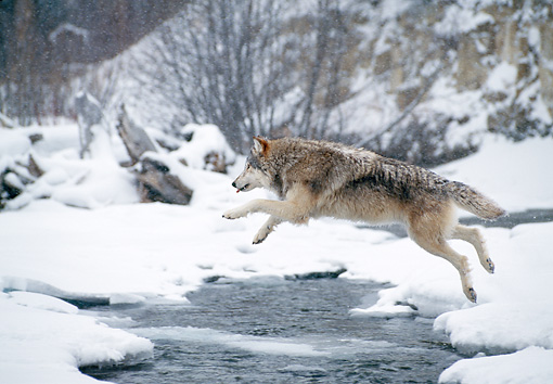 WOV 09 NE0049 01 © Kimball Stock Gray Wolf Jumping Across River Rocky Mountains