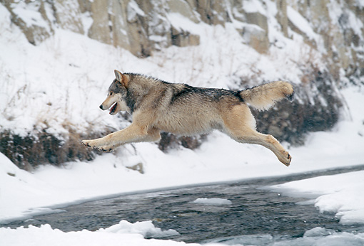 WOV 09 NE0050 01 © Kimball Stock Gray Wolf Jumping Across River Rocky Mountains