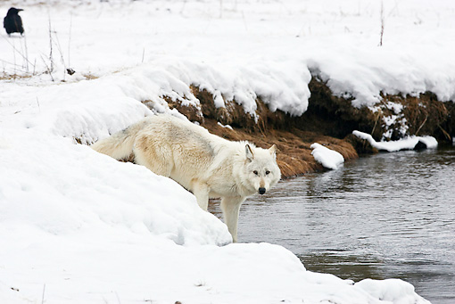 WOV 09 RF0006 01 © Kimball Stock Gray Wolf Standing In Snow By Water