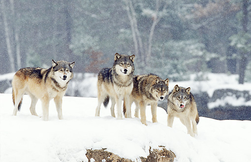 WOV 09 RF0007 01 © Kimball Stock Four Gray Wolves Standing In Snow