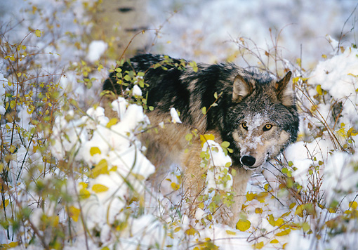 WOV 09 RK0060 08 © Kimball Stock Gray Wolf Standing By Twigs