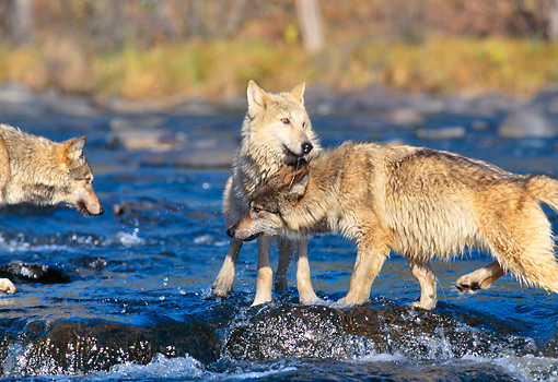 WOV 09 RK0082 03 © Kimball Stock Two Gray Wolves Playing Around Together In Water