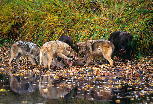 WOV 09 RK0116 04 © Kimball Stock Pack Of Gray Wolves Eating Carcass By Water