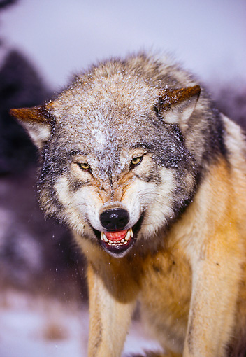 WOV 09 RK0134 41 © Kimball Stock Head Shot Of Gray Wolf Snarling At Camera