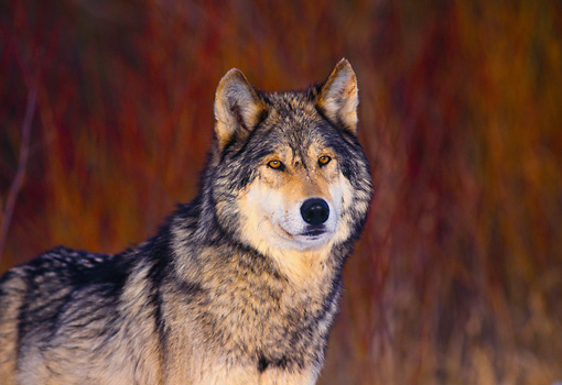 WOV 09 RK0141 55 © Kimball Stock Head Shot Of Gray Wolf Dry Grass Background