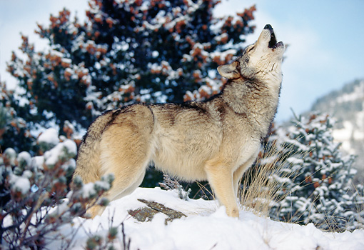 WOV 09 RK0158 11 © Kimball Stock Profile Shot Of Gray Wolf Standing On Snow Howling Trees